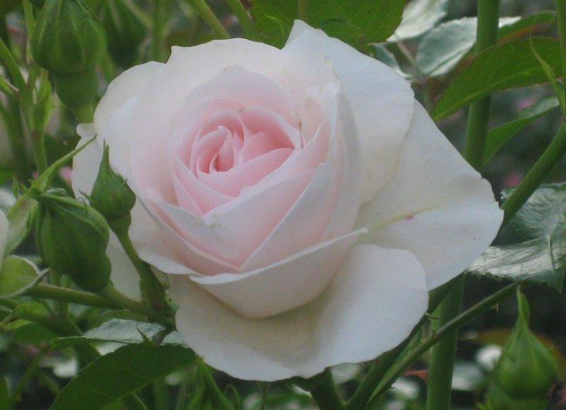 Ruusujen aikaan